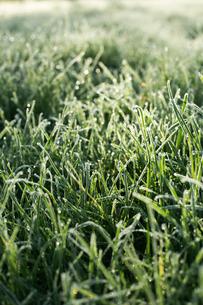 Sweden, Grass in frostの写真素材 [FYI02195124]