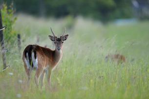 Sweden, Uppland, Lidingo, Deer looking at cameraの写真素材 [FYI02195703]