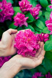 Sweden, Hands holding violet blossomの写真素材 [FYI02196132]