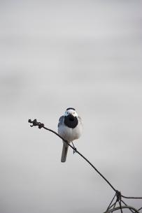 Sweden, Bird perching on metal wireの写真素材 [FYI02196139]
