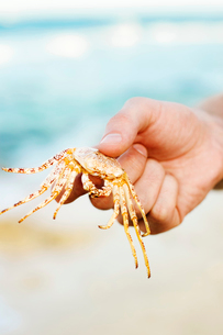 Mexico, Cancun, Hand holding crabの写真素材 [FYI02196258]