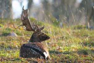 Sweden, Sodermanland, Gripsholm, Fallow deer lying on grassの写真素材 [FYI02196817]