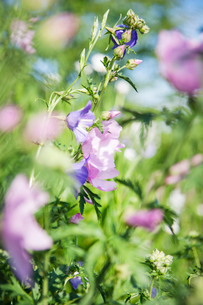 Sweden, Skane, Close up of pink and purple flowersの写真素材 [FYI02197430]