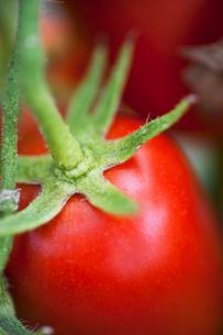 Italy, Sardinia, Close-up of unripe tomatoの写真素材 [FYI02198172]