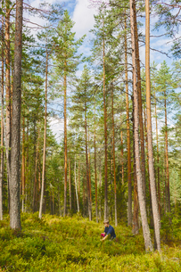 Finland, Keski-Suomi, Jyvaskyla, Man picking berries in pine forestの写真素材 [FYI02198290]