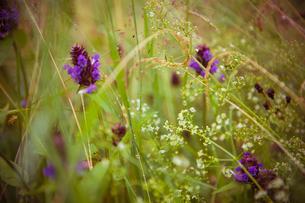 Sweden, Wildflowers in meadowの写真素材 [FYI02198504]