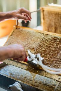 Australia, Queensland, Beekeeper´s hands collecting honey from honeycombの写真素材 [FYI02198810]