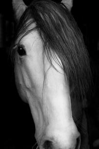 Sweden, Portrait of domestic animal (Equus ferus caballus)の写真素材 [FYI02198869]