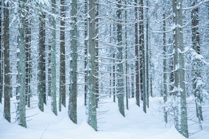 Sweden, Vastergotland, Lerum, Frost-covered pine trees in snowy forestの写真素材 [FYI02198886]
