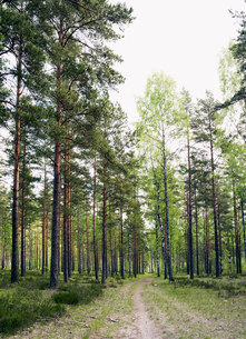 Finland, Uusimaa, Hanko, View of pine tree forestの写真素材 [FYI02198983]