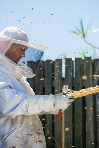 Australia, Queensland, Beekeeper inspecting honeycombの写真素材 [FYI02199024]