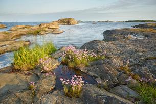 Sweden, Sodermanland, Stendorrens skargard, Lilla Visskar, Wildflowers along coastの写真素材 [FYI02199371]