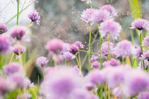 Sweden, Skane, Purple wildflowers in meadowの写真素材 [FYI02199503]