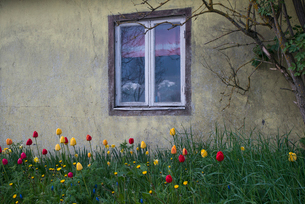 Sweden, Oland, Torngard, Tulips growing by houseの写真素材 [FYI02199883]
