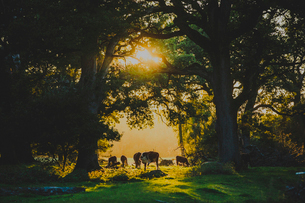 Sweden, Skane, Cows grazing at sunsetの写真素材 [FYI02199886]