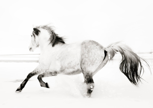 Sweden, Domestic horse (Equus ferus caballus) running in fieldの写真素材 [FYI02200112]