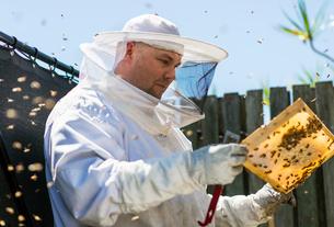 Australia, Queensland, Beekeeper inspecting honeycombの写真素材 [FYI02200436]