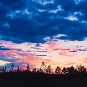 Sweden, Skane, Seved, Malmo, Pine tree (Pinus) in eveningの写真素材 [FYI02201102]