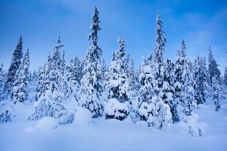 Sweden, Dalarna, Salen, Pine trees in winter at duskの写真素材 [FYI02201529]