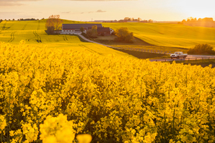 Sweden, Skane, Klagerup, Oilseed rape field at sunsetの写真素材 [FYI02201661]