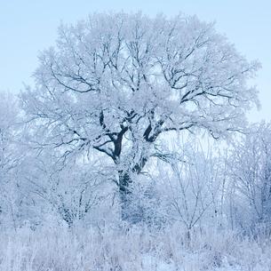 Sweden, Skane, Sodra Sandby, Frozen tree against skyの写真素材 [FYI02201688]