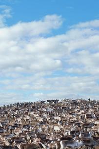 Sweden, Lapland, Levas, Herd of reindeer (Rangifer tarandus) in wildの写真素材 [FYI02201704]