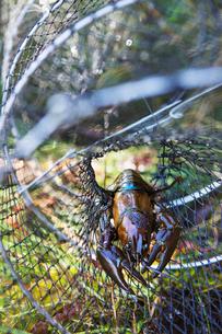 Sweden, Crayfish caught in fishing netの写真素材 [FYI02201847]