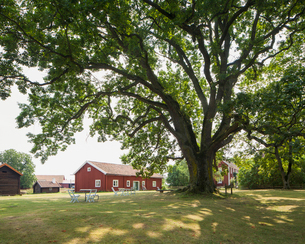 Sweden, Smaland, Visingso, Huge oak tree (Quercus robur) and houses in summerの写真素材 [FYI02201898]