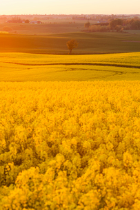 Sweden, Skane, Klagerup, Oilseed rape field at sunsetの写真素材 [FYI02202165]