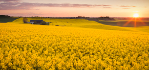 Sweden, Skane, Klagerup, Oilseed rape field at sunsetの写真素材 [FYI02202286]