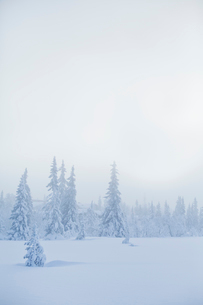 Sweden, Dalarna, Salen, Pine forest in winterの写真素材 [FYI02202294]