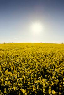 Sweden, Skane, Sun over blooming rapeseed fieldの写真素材 [FYI02202521]