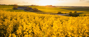 Sweden, Skane, Klagerup, Oilseed rape field at sunsetの写真素材 [FYI02202576]