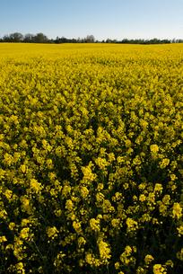 Sweden, Skane, Blooming rapeseed fieldの写真素材 [FYI02202580]