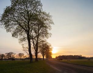 Sweden, Skane, Torna Hallestad, Cows on pastureの写真素材 [FYI02202618]