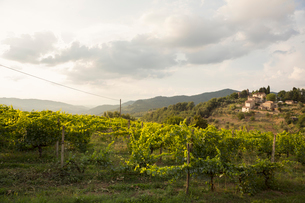 Italy, Tuscany, Dicomano, Vineyard under cloudy sky at sunsetの写真素材 [FYI02202764]