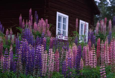 Sweden, Dalarna, Solleron, Picture of lupinesの写真素材 [FYI02202771]