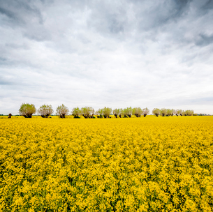 Sweden, Skane, Trees in middle of rapeseed fieldの写真素材 [FYI02202814]