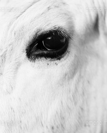 Sweden, Dalarna, Furudal, Aterasen, Close-up view of animal eyeの写真素材 [FYI02202834]