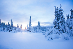 Sweden, Dalarna, Salen, Pine forest in winter at sunriseの写真素材 [FYI02202841]