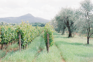 Italy, Tuscany, Bogheri, Vineyard plantationの写真素材 [FYI02202895]