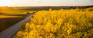 Sweden, Skane, Klagerup, Oilseed rape field at sunsetの写真素材 [FYI02202935]