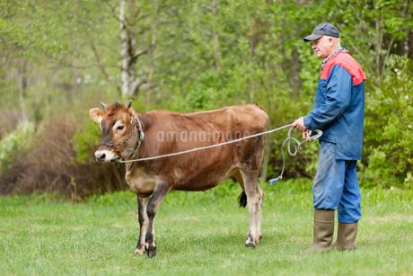Sweden, Vastmanland, Bergslagen, Hallefors, Senior farmer standing with young bull (Bos taurus) in fの写真素材 [FYI02203041]