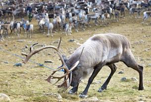 Sweden, Lapland, Levas, Roping reindeer (Rangifer tarandus) in wildの写真素材 [FYI02203064]