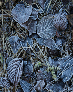 Sweden, Frozen leaves on grass in winterの写真素材 [FYI02203100]