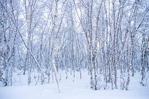 Sweden, Harjedalen, Ramundberget, Forest in winterの写真素材 [FYI02203177]