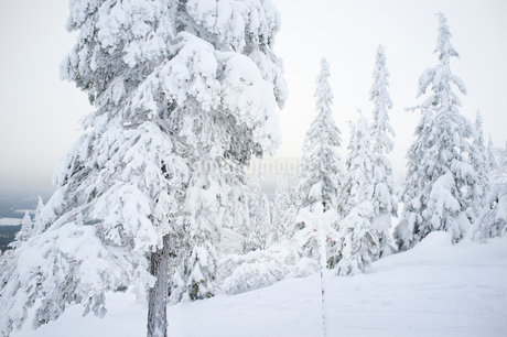 Sweden, Dalarna, Salen, Evergreen trees covered with snowの写真素材 [FYI02203560]