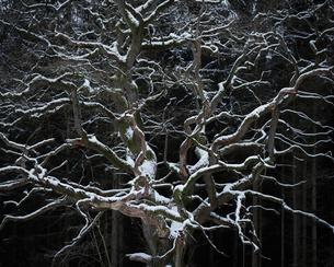 Sweden, Skane, Bare tree of pedunculate oak (Quercus robur) in winterの写真素材 [FYI02203571]