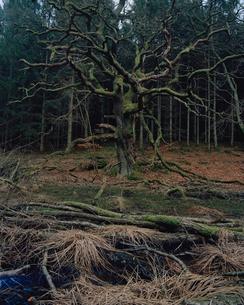 Sweden, Skane, Hackeberga, Dead tree in forestの写真素材 [FYI02203736]