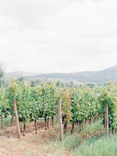 Italy, Tuscany, Bogheri, Vineyard plantationの写真素材 [FYI02203752]